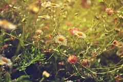 Little Margarita (Kathyxsmile) Tags: flowers sun flower macro green nature nikon focus bokeh nikond3000