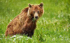 The Snow Grizzly (Jeff Clow) Tags: bear wild lake snow canada nature june outside outdoors spring wildlife alberta bow banff grizzly mothernature grizzlybear icefieldsparkway bowlake 2016 younggrizzly