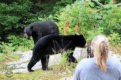 Boys (Megan Lorenz) Tags: bear wild ontario canada male nature animal mammal wildlife blackbear wildanimals mlorenz meganlorenz