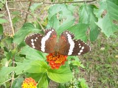 Mariposa (Esteban 507) Tags: naturaleza flores flower verde green nature beautiful leaves butterfly garden photographer picture jardin mariposa hermosa greengarden