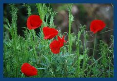 amapolas (BONNIE RODRIGUEZ BETETA) Tags: flores amapolas naturaleza castillaylen zamora