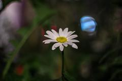 IMG_6005 (Nikan Likan) Tags: blue light red 6 white paris color green field yellow night vintage lens 50mm prime bokeh m42 daisy zenit manual f18 russian depth blades 1990 | 2016  18 helios77m4 vomz 77m4