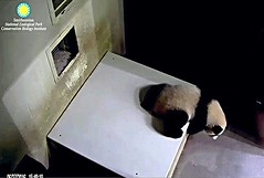 Larwy you not 'pos to be i here!!!!! (miner.marie) Tags: ccncby pandastory bei spa room color mouse larry friends snz cub washington dc