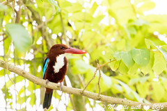 White Throated KingFisher (michellexueqi) Tags: kingfisher whitethroated