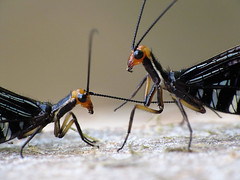 Insect courtship 1 (LSydney) Tags: macro insect copulation courtship