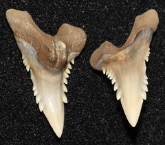 Snaggletooth (Hemipristis Curvatus) (Fossiltoothpic) Tags: macro animal animals canon tooth fossil shark teeth paleontology prehistoric extinct fossils eocene sharkteeth sharktooth 100mmmacro serrations canoneos7d fossilsharktooth fossiltooth fossilteeth curvatus hemipristiscurvatus
