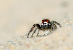 Pirate in the sand  (Pellenes tripunctatus) (Horst Beutler) Tags: spider pentax wildlife spinne jumpingspider araneae salticidae springspinne specinsect k20d pentaxart pellenestripunctatus kreuzspringspinne copyrighthorstbeutlerphotography