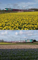 Olympian Benelux train, Warmond, April 14, 2012 (cklx) Tags: daffodils hyacinths bulbflowers flowerbulbs bollenveld beneluxtrein beneluxtrain olympischebenelux olympianbeneluxtrain