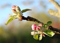 Apfel_Bltenknospe_DSC_0167 (schaefer_rudolf) Tags: natur blte baum apfel malus rosaceae holzapfel pfel laubbaum sylvestris rosengewchse rosaweis malus europischer wildapfel