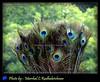 Peacock feathers- Photo by Marshal.C.Radhakrishnan (INDIA) 2012 (marshalbond007) Tags: peacockfeathers mayilpeeli marshalcradhakrishnan