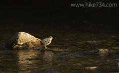 """American Dipper • <a style=""""font-size:0.8em;"""" href=""""http://www.flickr.com/photos/63501323@N07/6997820940/"""" target=""""_blank"""">View on Flickr</a>"""