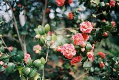 (FLEUR) Tags: film analog 35mm garden botanical minoltax700 analogue  f18 portra   portra400vc shanghai minolta kodak mc wrokkorhh x700 400vc 35f18