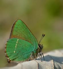 Callophrys rubi (T.I.T.A.) Tags: macro primavera mariposa tita bolboreta callophrysrubi carmensolla bgndaxd carmensollafotografía carmensollaimágenes