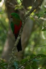Barrington Tops_0001 (deb & devin etheredge) Tags: birds rosella parrots huntervalley barringtontops birdsofafeather australianbirds flocks crimsonrosella birdsofafeathersticktogether debdevinetheredge