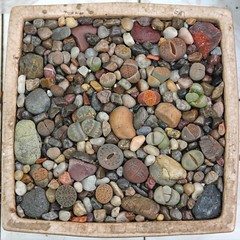 Lithops Potted Up (Apr 9, 2012) (joeysplanting) Tags: lithops succulents