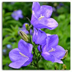 Bells of Blue (Eleanor (No multiple invites please)) Tags: campanula floralfantasy perfectpetals flowersarebeautiful worldofflowers flickrsawesomeblossoms amazingdetails passionforflowers unforgettableflowers addictedtoflowers flowersonflickr weallloveflowers natureskingdom anaturecanvas soullmans flowers4you brigettesbeautifulnaturegallery busheyrosegarden certifiedphotographerlevel1 anythingnikonexceptpeople