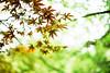 Autumn in June (moaan) Tags: life green june digital 50mm glow dof bokeh diary fresh foliage momiji japanesemaple utata glowing acerpalmatum 2012 f12 afresh inlife ef50mmf12lusm 神戸市立森林植物園 canoneos5dmarkiii kobemunicipalarboretum foliagediary