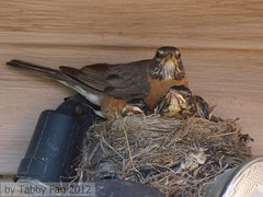 """Teenagers""! (Tabby Fan) Tags: robin american nestlings"