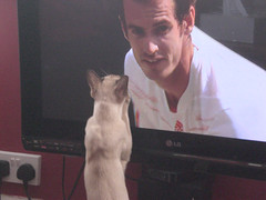 Come on Andy! (cox-on-the-box - we have rain!) Tags: england sports television cat fan tv support funny screen tennis final tonkinese andymurray british wimbledon scotsman catnipaddicts