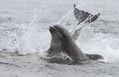 Bottlenose Dolphin 'Splash down' (Tursiops truncates) 0466 (Highland Andy (Andy Howard)) Tags: nature scotland wildlife highland inverness fortrose point images firth highland dolphin moray bottlenose tursiops truncates chanonry
