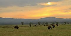 Bison Sunrise, Wyoming (Rob Little) Tags: west sunrise landscape western wyoming bison