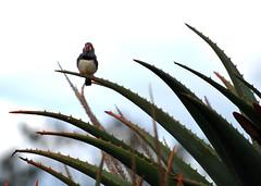 Zebra Finch_Cacti Garden_Strathmerton_Vic_DSC_0155_2 - Copy (renrut01) Tags: birds cacti victoria finch yarrawonga strathmerton