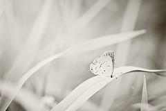 Mini me. (HugsNotDrugs11385) Tags: nature butterfly haze hazy florabellaactions nikond5100