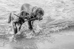 Best Friends (Jason Gallant.) Tags: friends lake dogs wet water canon happy eos lab labrador stick vernon fetch lakeokanagan newfoundlandlab 18200mm 60d