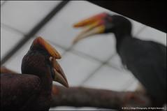 Rhinoceros Hornbill (jfelege) Tags: bird animal zoo ngc hornbill zooanimal rhinoceroshornbill milwaukeecountyzoo zoosofnorthamerica