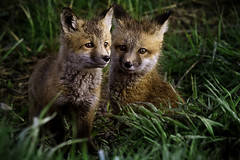 Kits (doublejwebers) Tags: life park morning wild cute nature animal animals canon photography eos photo nationalpark babies fuzzy wildlife small young fluffy jeremy jackson national fox wyoming grandtetons foxes grandteton weber 300mmf28 grandtetonnationalpark babyanimals 1dmkiii 1dmarkiii jeremyweber jeremyweberphotography jeremyweberphoto