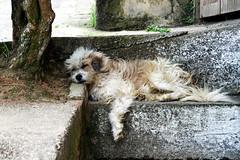 Durmiendo (¡1400!) (Joz3.69) Tags: street dog pet animal silver colombia raw pentax gimp kr huila industar c2g f35 streetdog industar50 overprocessing 50mmf35 rawtherapee pentaxkr industar50m3950mm135 overprocessingc2g iquira