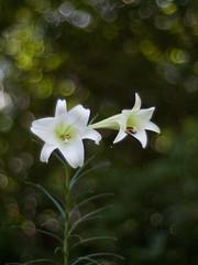 Lilium formosanum Wallace (Polotaro) Tags: flower nature pen olympus   zuiko ep1   gzuiko50mmf14