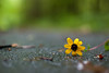 293/365 [Explored] (Bradley Nash Burgess) Tags: flowers flower yellow 35mm project nikon 365 nikkor f18 afs dx project365 d80 nikond80 365project nikonafsdxnikkor35mmf18