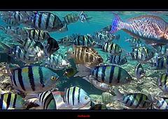Red Sea in watercolor (Jambo Jambo) Tags: sea watercolor mare underwater redsea snorkeling pesci reef fishes watercolorpainting barrieracorallina marrosso jambojambo samsungwp10