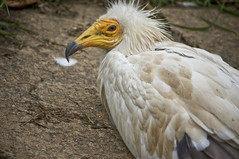 Egyptian Vulture C (larryn2009) Tags: california white bird animal sandiego unitedstatesofamerica september 2012 sandiegocounty neophronpercnopterus egyptianvulture pharaohschicken whitescavengervulture sandiegosafaripark