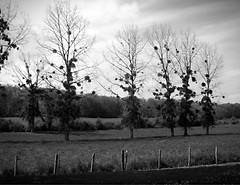 Pois (Lou Darracq) Tags: flowers trees sculpture church fleurs blackwhite arbres église charente noirblanc vouzan skancheli