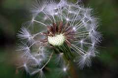 dandelion (Finbar Coleman) Tags: flower spring dandelion seeds wildflower