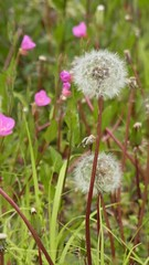 (nofrills) Tags: pink flowers plants plant flower green floral weeds weed flora seed dandelion seeds urbannature