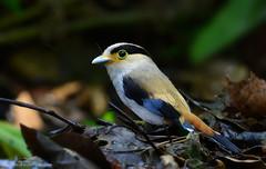 / Silver-breasted Broadbill / Serilophus lunatus (bambusabird) Tags: birds animals forest thailand nikon rainforest wildlife tropical chiangmai oriental doisuthep broadbill bambusabird