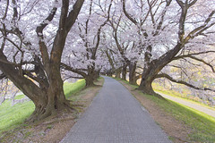 2016 Spring Season Tour Of Kyoto (caz76KOBE) Tags: nature beautiful japan canon landscape eos spring kyoto  cherryblossom cherryblossoms 24mm yawata  landscapephotography beautifulearth eflens sewaritei eos6d canonprimelens ef24mm  ef24mmf14liiusm ef24mmf14lusm 2016spring 2016kyoto 2016caz76