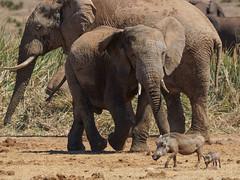 Suedafrika-58 (Lukas P Schmidt) Tags: elephant addo nationalpark warthog elephantpark