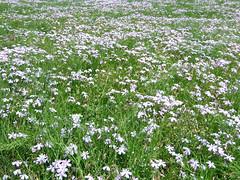 #8087 moss phlox () (Nemo's great uncle) Tags: flower moss flora saitama  phlox chichibu phloxsubulata     subulata mossphlox  yokoze   hitsujiyamapark shibazakurahill
