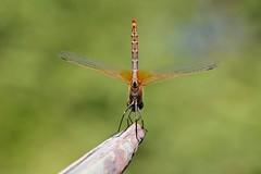 summer at the corner....Sympetrum fonscolombii, Bollullos de la Mitacion Sevilla ES (revilla.eloy) Tags: dragonfly jardin libelulas sympetrumfonscolombii