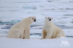 Polar Bears (fascinationwildlife) Tags: bear wild summer snow male ice nature animal norway mammal wildlife natur north svalbard arctic polar predator spitsbergen br eisbr spitzbergen