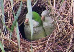 parakeets nesting in the palm trees