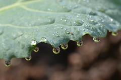 Brokkoli (stefanielaiminger) Tags: green grn blatt gardening garden morgentau tautropfen