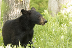 Bear in Cades Cove (MiriamPoling) Tags: bear black mountains cove smokey cades