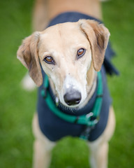 Danny (3 of 12) (d3max) Tags: charity summer rescue dogs canon tan canine volunteering lurcher rehoming 5dmk3 martinhillphotography woodgreenanimalcharity