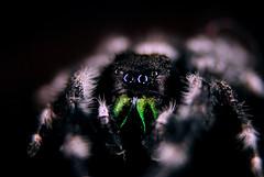 Phidippus spp., Jumping Spider (nightsky76) Tags: macro jumpingspider phidippus
