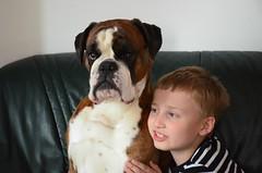 Sbrapildid : ) (anuwintschalek) Tags: dog home austria spring hund gordon april boxer kalle niedersterreich frhling kodu bokser interiour kevad 2016 wienerneustadt lapsed koer d7k nikond7000 18140vr